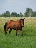 Большая лошадь на поле Стоковая Фотография
