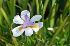 Большая одичалая радужка & x28; Фея Iris& x29; Стоковое Изображение