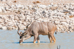 Большая питьевая вода быка kudu в waterhole Стоковые Фотографии RF