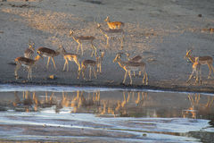 Большая питьевая вода табуна импалы на пруде в поздно вечером Стоковые Изображения