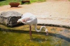 Большая питьевая вода фламинго Стоковое Фото