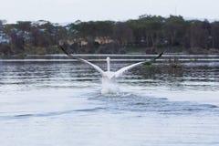Большая посадка белого пеликана стоковая фотография rf
