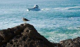 Большая поддерживаемая черно чайка на утесе в океане Стоковое фото RF