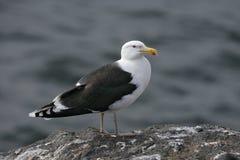 Большая поддерживаемая черно чайка, Larus marinus Стоковые Изображения