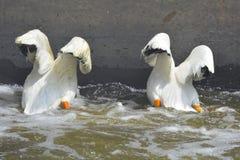 большая природа озера рыболовства наблюдает пеликанами Стоковые Изображения RF