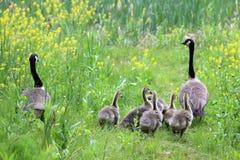 Большая прогулка семьи гусыни Стоковое Фото