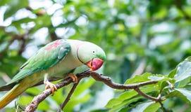 Большая птица длиннохвостого попугая (eupatria ожерелового попугая) Стоковая Фотография RF