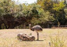 Большая птица Реи Американа Nandu Стоковое Фото