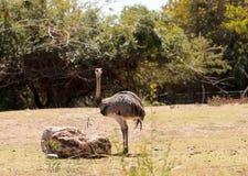 Большая птица Реи Американа Nandu Стоковая Фотография RF