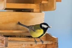 Большая птица синицы в желтом и черном цвете садясь на насест на деревянной птице Стоковое Изображение RF