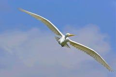 Большая птица egret Стоковые Изображения