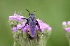 Большая пчела взбираясь на сети паука Стоковое Изображение RF