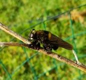 Большая пчела Стоковое Изображение