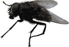 Большая реалистическая муха комнатная Стоковые Изображения
