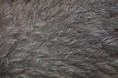 Большая Рея Рея Американа Текстура оперения стоковое фото
