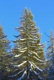 Большая рождественская елка покрытая с снегом Стоковое Фото