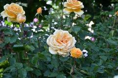 Большая роза апельсина Стоковые Изображения