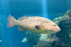 Большая рыба плавает медленно в аквариуме голубая вода Рэй света в воде Стоковая Фотография RF