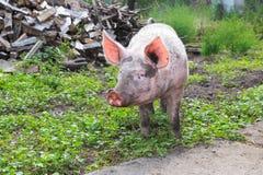 Большая свинья на ферме Стоковое Изображение