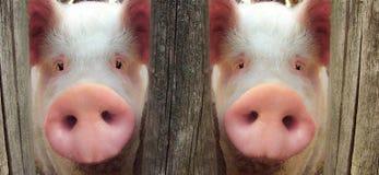 Большая свинья Стоковое Изображение RF