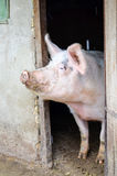 большая свинья Стоковая Фотография