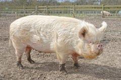 большая свинья Стоковое Изображение
