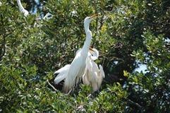 Большая семья Egret в гнезде Стоковая Фотография