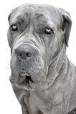 Большая серая собака Стоковое Изображение RF