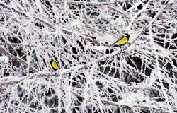 Большая синица в зиме Стоковые Изображения