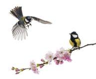 2 большая синица одно летая и другое садилась на насест на цветя br Стоковые Фото