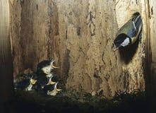 Большая синица подавая ее цыпленоки Стоковые Фотографии RF
