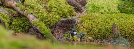 Большая синица принимая ванну Стоковые Фотографии RF