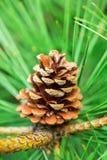 Большая смертная казнь через повешение конуса сосны от ветви дерева Стоковая Фотография