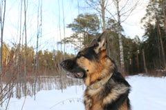 Большая собака в лесе Стоковая Фотография