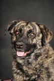 Большая собака в студии стоковое изображение