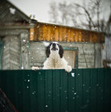 Большая собака на загородке Стоковое Фото