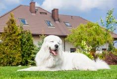 Большая собака предохранителя отдыхая перед домом Отполируйте Sheepdog Tatra стоковые фотографии rf