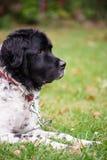 Большая собака снаружи Стоковая Фотография