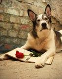 Большая собака читая и думая о влюбленности Стоковые Изображения