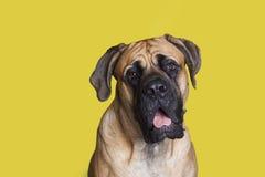 Большая собака Стоковые Изображения