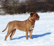 Большая собака - Dogue de Бордо Стоковые Фото
