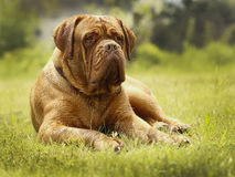 Большая собака - Mastiff Бордо Стоковая Фотография