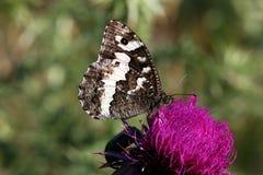 Большая соединенная бабочка хариуса Стоковое фото RF