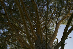 Большая старая сосна снизу Стоковая Фотография