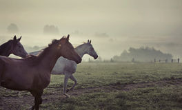 Большая сцена идущих лошадей Стоковые Фото