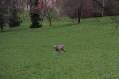 Большая счастливая собака бежит назад с теннисным мячом Стоковые Фотографии RF