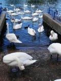 Большая толпа безгласных лебедей и уток подавая в реке Темзе Стоковая Фотография RF