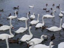 Большая толпа безгласных лебедей и уток подавая в реке Темзе Стоковое Фото