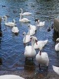 Большая толпа безгласных лебедей и уток подавая в реке Темзе Стоковое Изображение RF