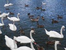 Большая толпа безгласных лебедей и уток подавая в реке Темзе Стоковое фото RF